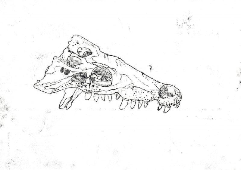 Crocodile Skull